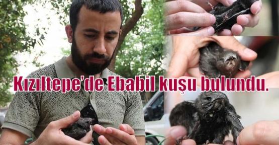 Kızıltepe'de Ebabil kuşu bulundu.
