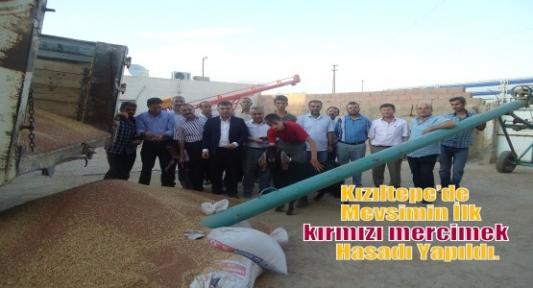 Kızıltepe'de Mevsimin İlk Kırmızı Mercimek Hasadı Yapıldı.
