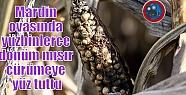 Mardin ovasında yüzbinlerce dönüm mısır...